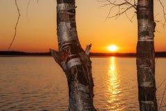Árboles de abedul en la puesta del sol Fotos de archivo libres de regalías