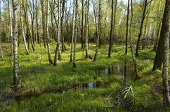 Árboles de abedul en la reserva de naturaleza Fotografía de archivo