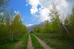 Árboles de abedul en las montañas Foto de archivo libre de regalías