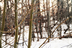Árboles de abedul en las montañas Fotos de archivo