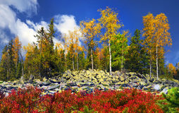Árboles de abedul en las rocas Foto de archivo