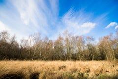 Árboles de abedul en naturaleza del otoño Imagenes de archivo