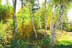 Árboles de abedul en New Hampshire Foto de archivo libre de regalías