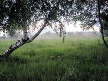 Árboles de abedul en niebla Fotos de archivo libres de regalías