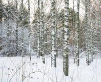 Árboles de abedul en nieve Imágenes de archivo libres de regalías