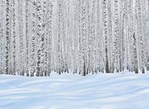 Árboles de abedul en nieve Imagen de archivo libre de regalías