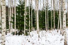 árboles de abedul en nieve del invierno Imagen de archivo libre de regalías