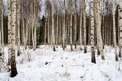 árboles de abedul en nieve del invierno Foto de archivo