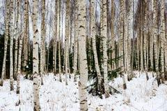 árboles de abedul en nieve del invierno Imagen de archivo