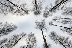 árboles de abedul en nieve del invierno Imágenes de archivo libres de regalías