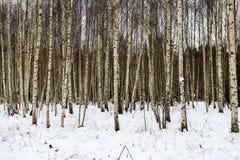 árboles de abedul en nieve del invierno Fotos de archivo