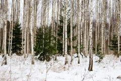 árboles de abedul en nieve del invierno Imagenes de archivo