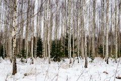 árboles de abedul en nieve del invierno Fotos de archivo libres de regalías