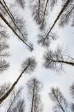 árboles de abedul en nieve del invierno Fotografía de archivo libre de regalías