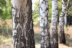 Árboles de abedul en otoño Imágenes de archivo libres de regalías