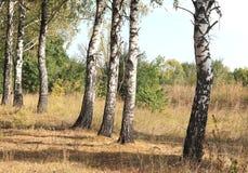 Árboles de abedul en otoño Foto de archivo libre de regalías