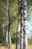 Árboles de abedul en otoño Fotografía de archivo libre de regalías