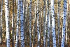 Árboles de abedul en otoño Fotos de archivo