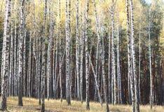 Árboles de abedul en otoño Imagen de archivo