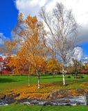 Árboles de abedul en otoño Imagenes de archivo