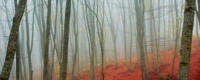 Árboles de abedul en otoño Foto de archivo