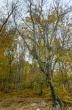 Árboles de abedul en otoño Fotos de archivo libres de regalías