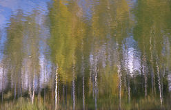 Árboles de abedul en otoño Fotografía de archivo