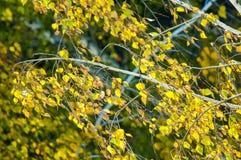 Árboles de abedul en otoño Fotografiado de una ventana encima de Fotografía de archivo libre de regalías