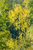 Árboles de abedul en otoño Fotografiado de una ventana encima de Foto de archivo