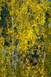 Árboles de abedul en otoño Fotografiado de una ventana encima de Imagen de archivo