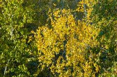 Árboles de abedul en otoño Fotografiado de una ventana encima de Foto de archivo libre de regalías