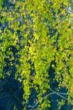 Árboles de abedul en otoño Fotografiado de una ventana encima de Fotos de archivo libres de regalías