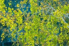 Árboles de abedul en otoño Fotografiado de una ventana encima de Fotografía de archivo