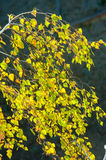 Árboles de abedul en otoño Fotografiado de una ventana encima de Imágenes de archivo libres de regalías