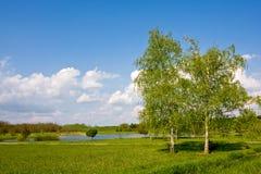 Árboles de abedul en parque Foto de archivo libre de regalías
