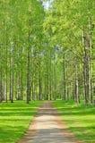 Árboles de abedul en parque de la primavera Imagen de archivo