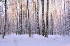 Árboles de abedul en parque del invierno Imagen de archivo