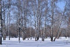 Árboles de abedul en parque del invierno Foto de archivo libre de regalías