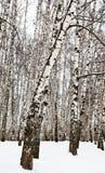Árboles de abedul en parque urbano Fotografía de archivo