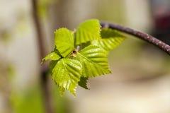 Árboles de abedul en primavera Foto de archivo libre de regalías