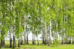 Árboles de abedul en primavera Fotos de archivo libres de regalías