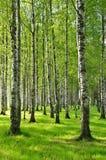 Árboles de abedul en primavera Fotos de archivo