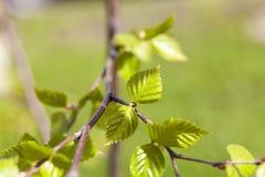 Árboles de abedul en primavera Imagen de archivo libre de regalías
