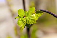 Árboles de abedul en primavera Imagen de archivo