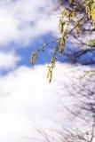 Árboles de abedul en primavera Fotografía de archivo libre de regalías
