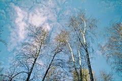 Árboles de abedul en primavera en fondo del cielo azul Imágenes de archivo libres de regalías