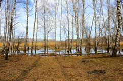 Árboles de abedul en primavera que el bosque vale en agua Fotos de archivo
