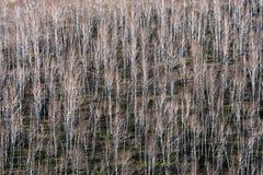 Árboles de abedul en primavera temprana Fotografía de archivo libre de regalías