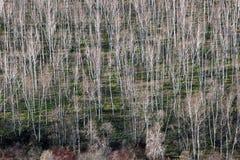 Árboles de abedul en primavera temprana Fotos de archivo