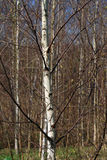 Árboles de abedul en primavera temprana Imagenes de archivo